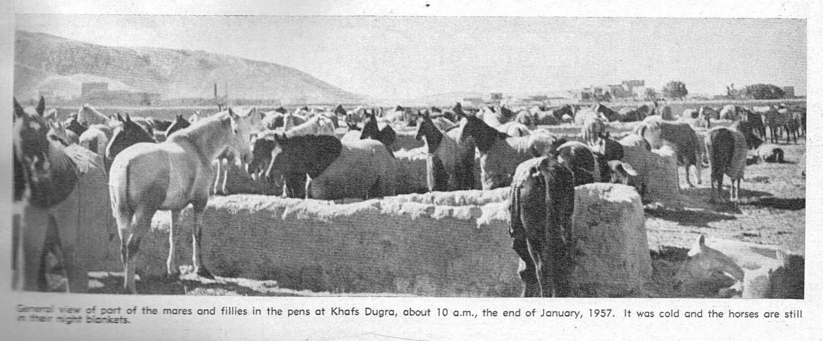 قرابة 800 رأس من خيل الملك عبد العزيز العربية في مربطها في خفس دقرة جنوب مدينة الخرج عام 1957 ميلادية